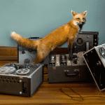Todd_Baxter-fox